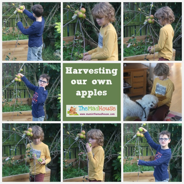harvesting our own apples