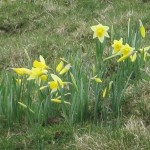Farndale and the Daffodils