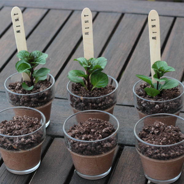 Oreo dirt desserts or chocolate mint puddings House Plant Chocolate Mint on house plant strawberry, house plant ginger, house plant candy cane, house plant sage, house plant lime, house plant pineapple, house plant banana,