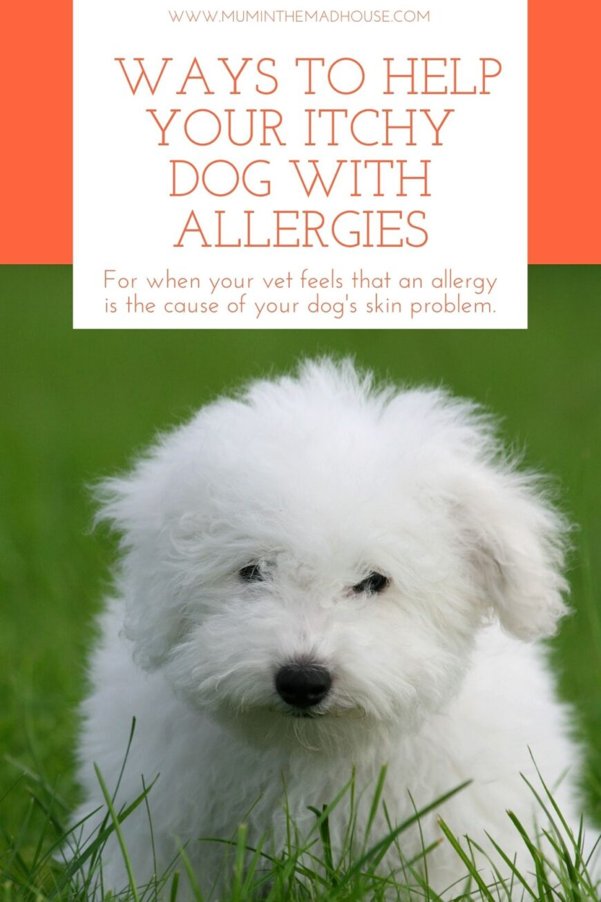 Effective ways to help your itchy dog with allergies. Practical tips for when your vet feels that an allergy is the cause of your dog's skin problem.